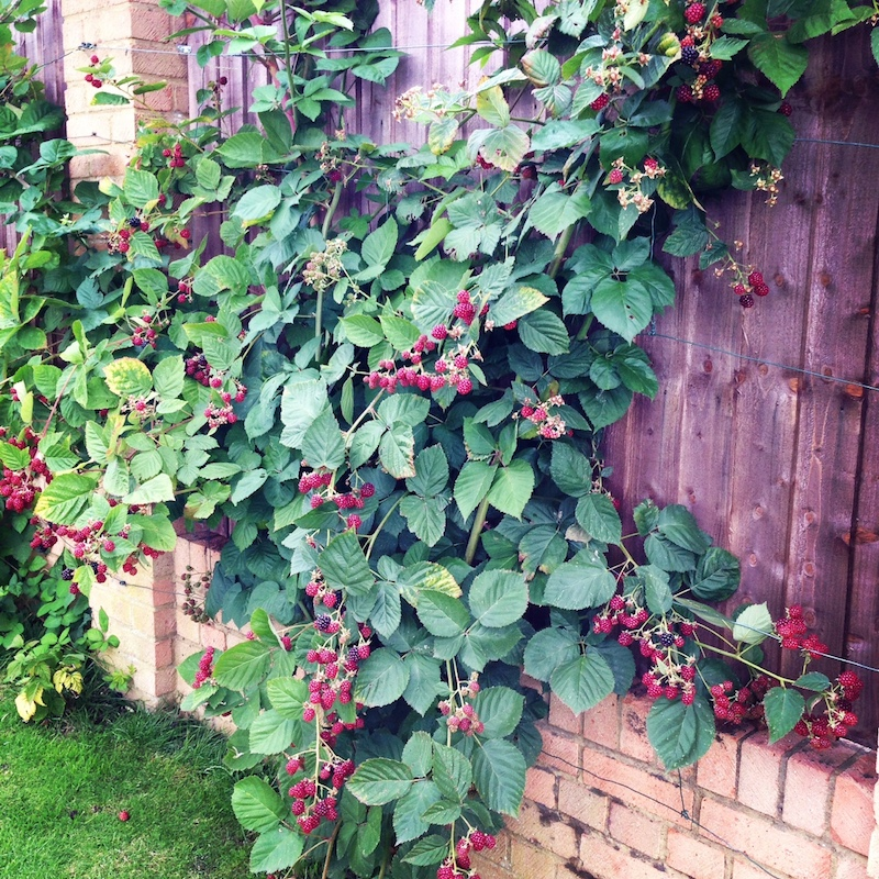 Berries trellised against the back fence of a Farnham Common home in Buckinghamshire, England. Spied on our last visit. This system looks neat but it doesn't allow fruit to grow on the other side. Berries should ideally be planted north/south in acidic soil.