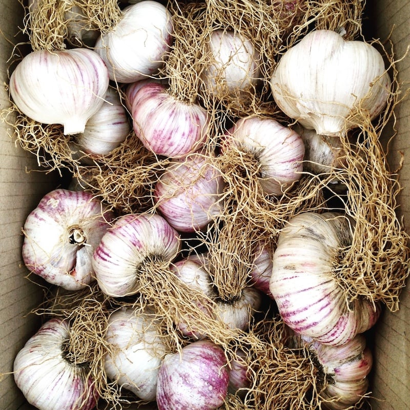 I spent last weekend cleaning up this gorgeous Italian red variety of garlic. We harvested it back in November and I've only just had a chance to prepare it for storage. Our stores will hopefully last us through the autumn and winter even after we use some for replanting in April.