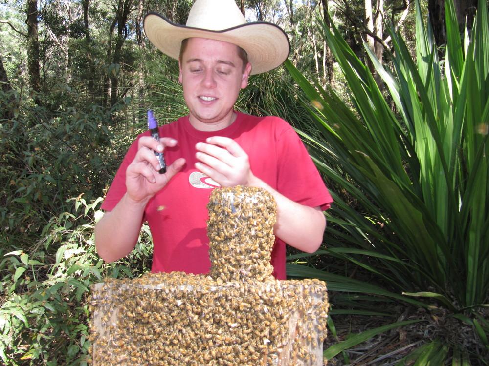 Me marking scout Western hive bees (Apis mellifera) for Schaerfet al. 2013.