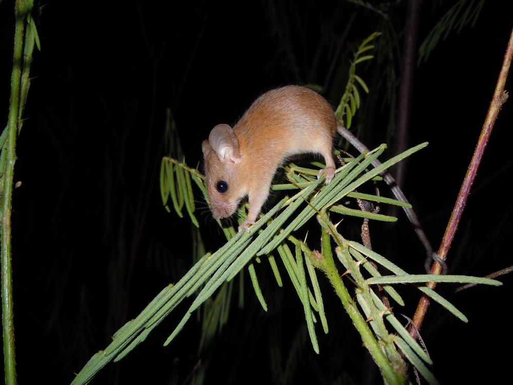 An Asian long-tailed climbing mouse ( Vandeleuria oleracea )