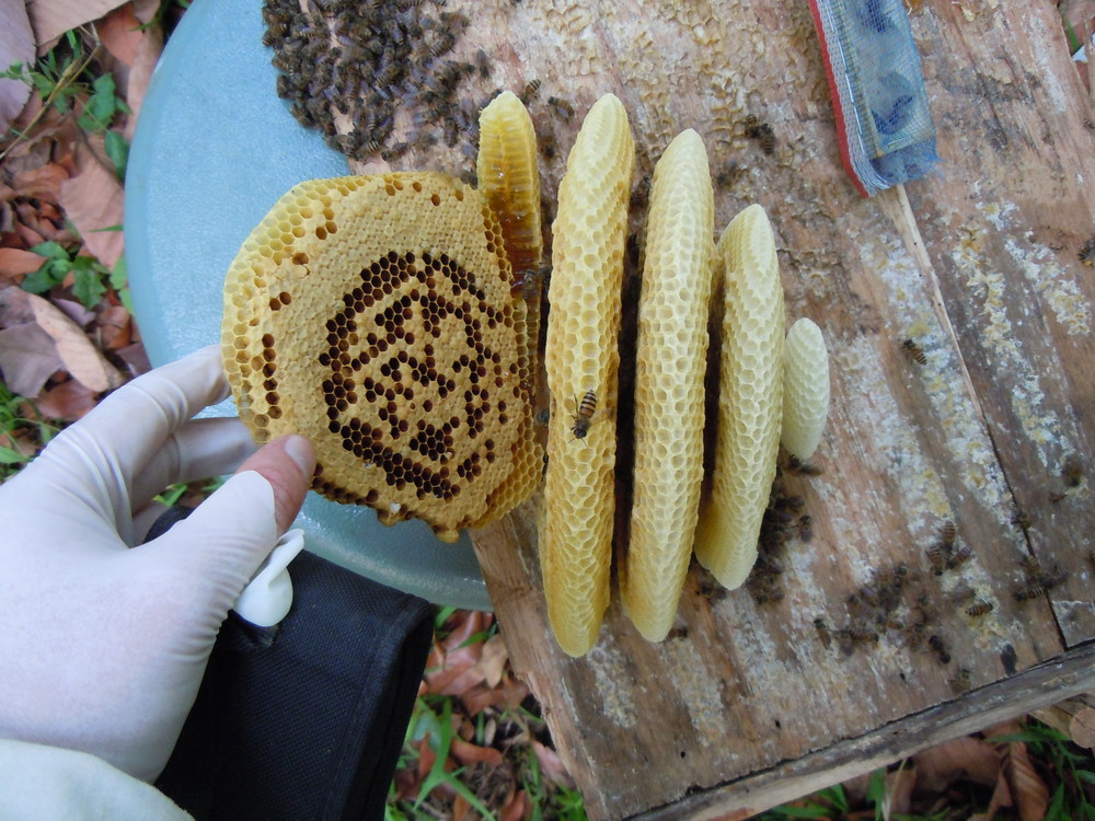 The comb of an Asian honeybee ( Apis cerana ) colony.