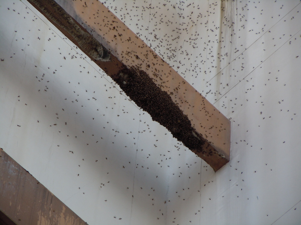 A swarm of the giant Asian honeybee ( Apis dorsata ) clusters on an old comb fragment on t.he ledge of a building.