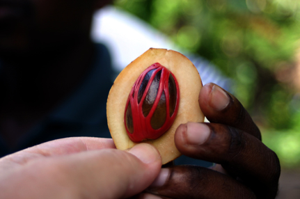 Nutmeg_Fruit