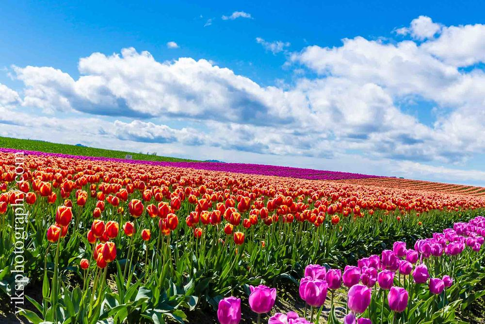 This was taken as Skagit valley, Seattle a place about an hour from the city. When I started we were quite skeptical as it might rain that day. However, we still kept our fingers crossed and moved on. Luckily it was not raining and there were beautiful clouds all over. Tulip festival happens just once a year here around mid April. It all looks heavenly. This picture was taken using a canon EOS 6D with a 24-70mm lens at probably f11.