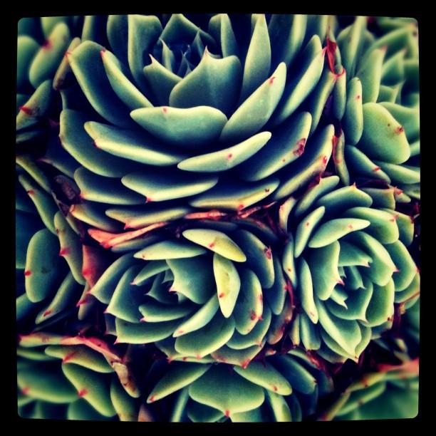 Succulent. (Taken with  instagram )