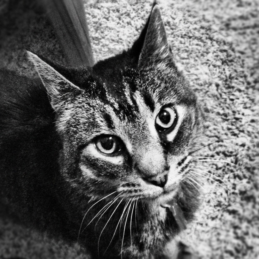 This is our old cat Max. He was the sweetest killer you ever met. Max was a Manx and loved attention when he wasn't prowling for mice. He is in kitty heaven now and we miss him dearly. We are forever thankful for his presence as he turned us into true cat people.