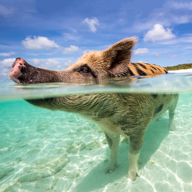 pigss2.jpg