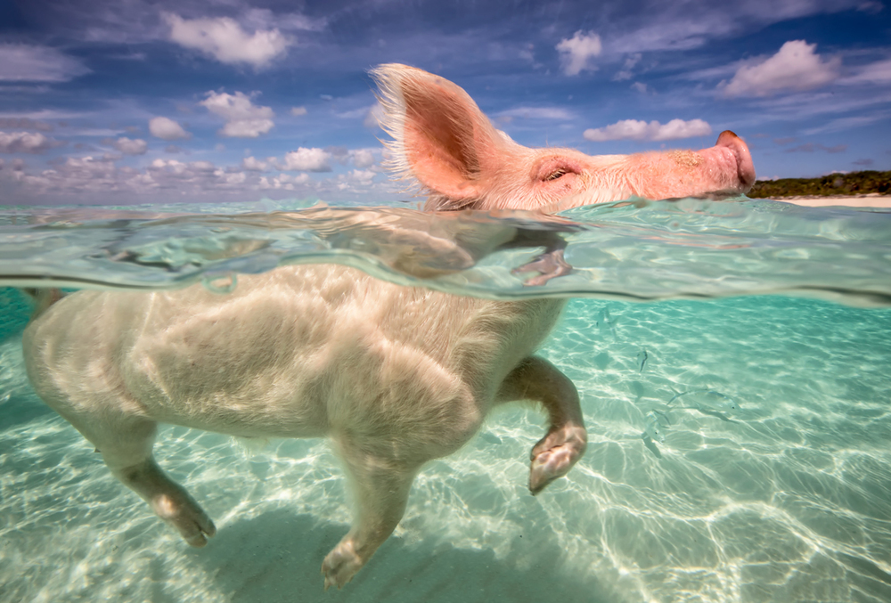 pigss20.jpg