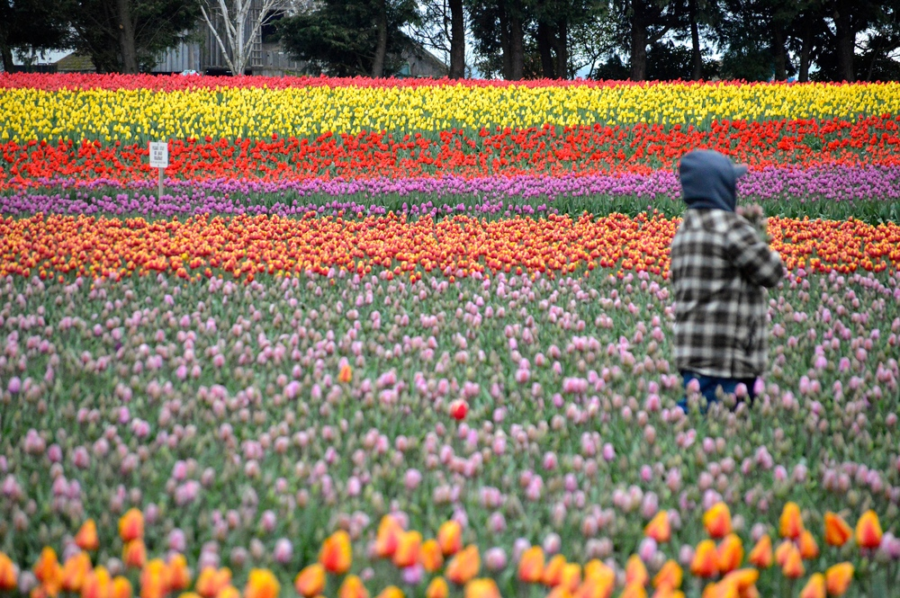 Skagit_Valley_Tulips.jpg