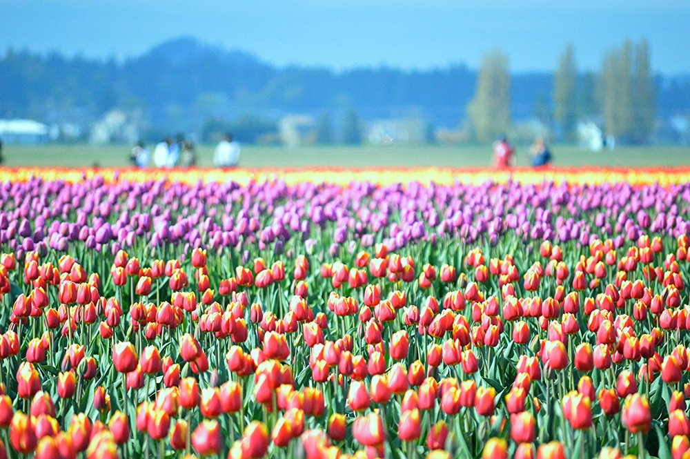 Tulip_Fields_Skagit.jpg
