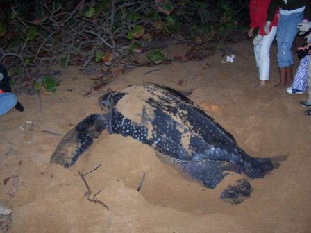 This marine turtle specie lays eggs in the coasts of Puerto Rico during the summer months. Photo: Pamy Rojas