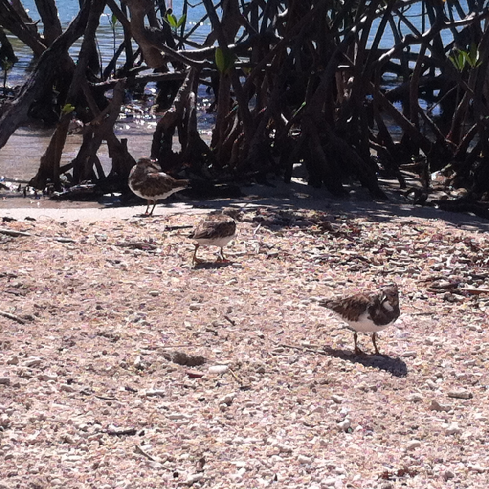Over 166 bird species have been sighted at Aurora Key, which is part of Guanica's Dry Forest. Photo: Bruny Nieves