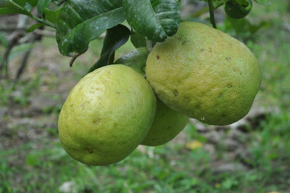 Believe it or not they are lemons, almost the size of a grapefruit. Photo: Pamy Rojas
