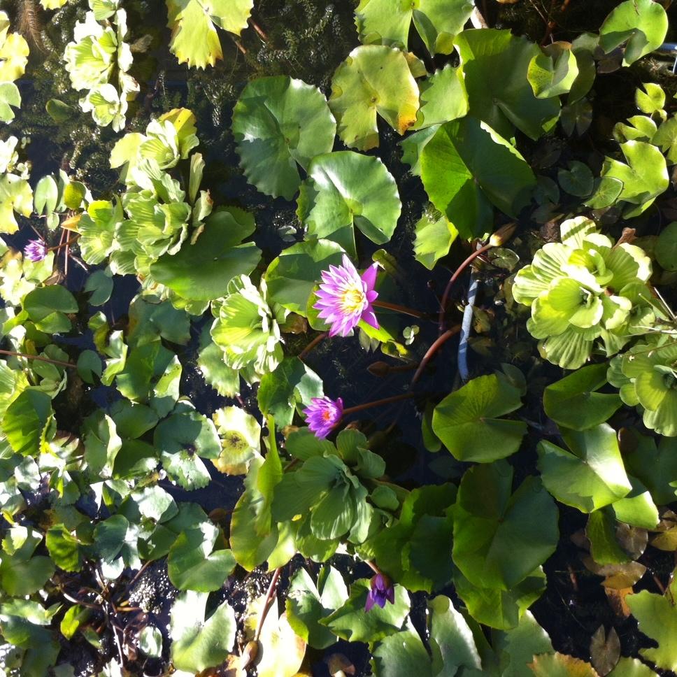 The Lotus flowers embellishing the garden awaken as the morning warms up. Photo: Bruny Nieves