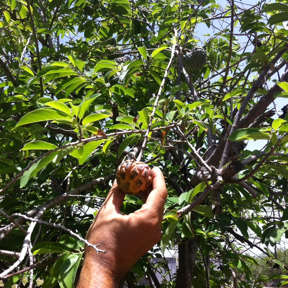 Gustavo shows one of his favorite fruits, the anón, similar to the soursop fruit in flavor and texture. Photo: Bruny Nieves