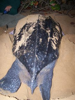 The turtle made the gap with her back legs. Photo: Provided