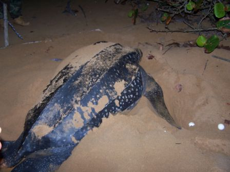 After laying the eggs, the turtle tries to cover the area. Photo: Provided