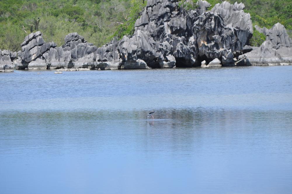 Además del ave la viuda, por esta área también rondan diferentes especies de patos como el zarcel, el quijada colorada, el chorizo y la chiriría; este último es endémico del Caribe y está en peligro de extinción. Foto: Pamy Rojas