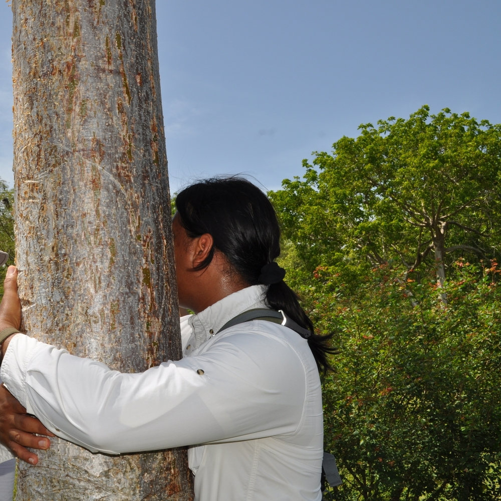 El almácigo es un árbol para honrarlo por haber alimentado a tantas familias puertorriqueñas. Foto: Pamy Rojas