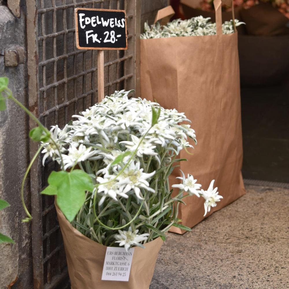 Floristería en Zürich con Edelweiss para la venta; esta flor de montaña,   símbolo de los Alpes, es difícil de conseguir. Foto: Bernardo Fiol