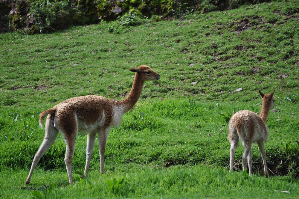 Para 1950 la vicuña estuvo en peligro de extinción. Los esfuerzos de conservación de la esta especie lograron restablecer la población que actualmente se encuentra protegida. Foto: Pamy Rojas