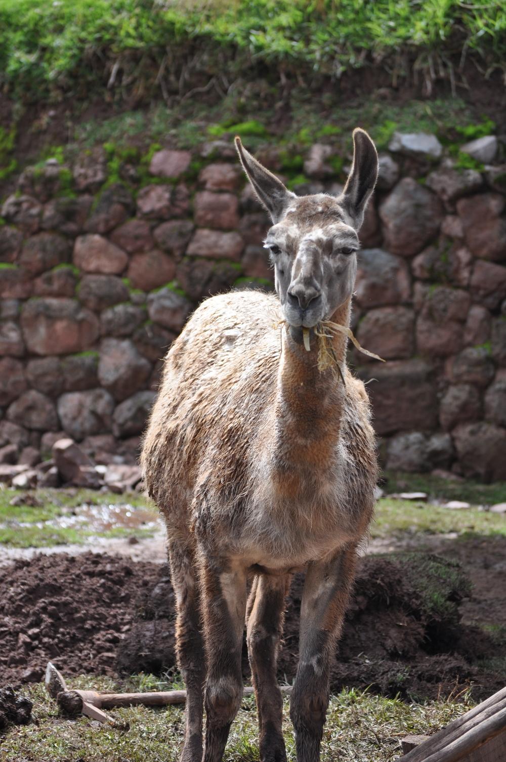 La llama es el camélido andino más popular y fuerte. Foto: Pamy Rojas