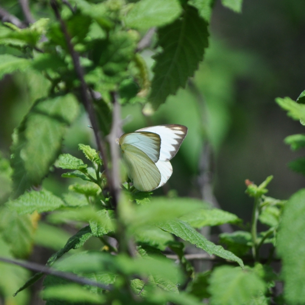 Butterflies are important for the ecosystem and pollination. Photo: Pamy Rojas