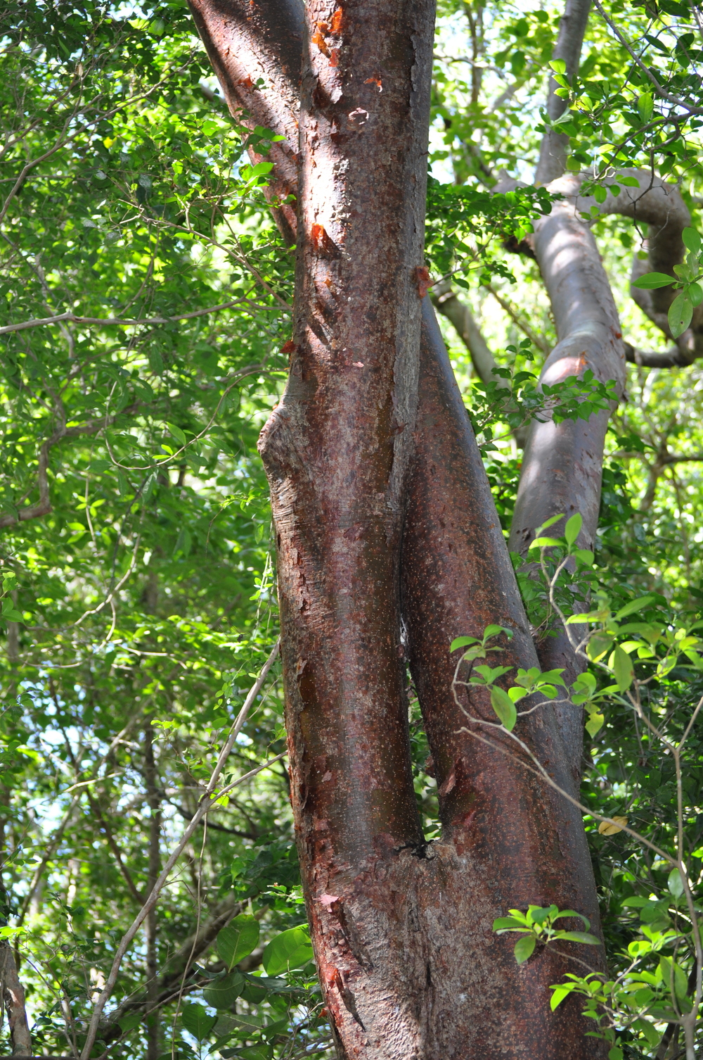 The bark of the turpentine-tree has all the nutrients necessary to sustain human life. Photo: Pamy Rojas