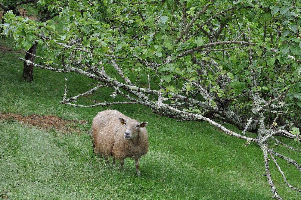 Por los alrededores de la Casona de Con encontramos ovejas, caballos, vacas y perros.