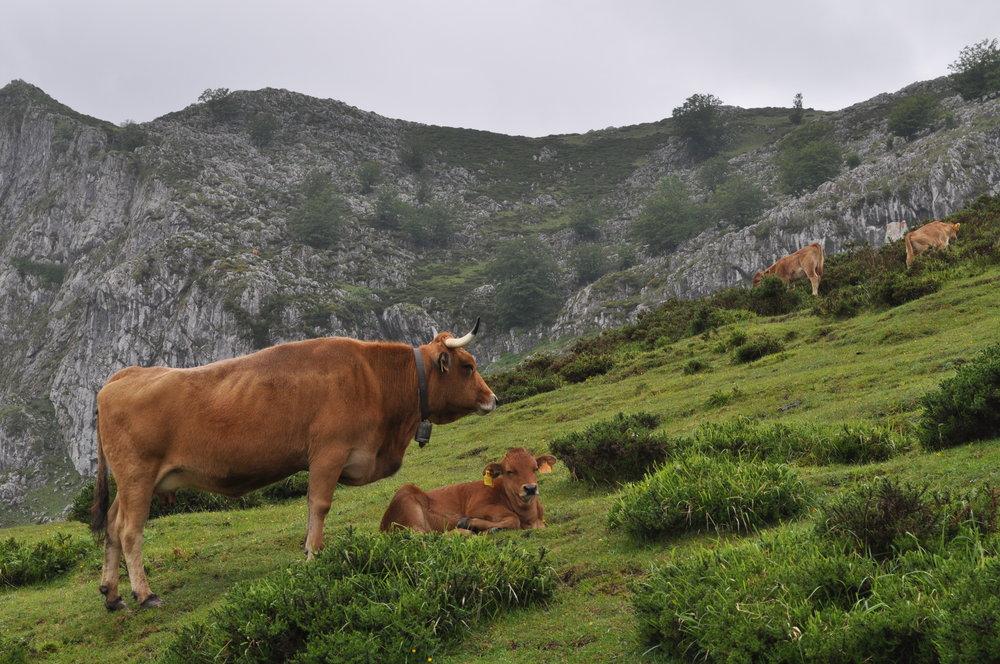Cencerros y vacas, vacas y cencerros, Lagos de Covadonga,Cangas de Onís.