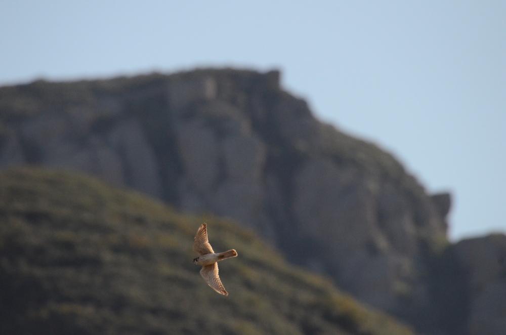A Kestrel Falcon flies near Boney Mountain, Thousand Oaks