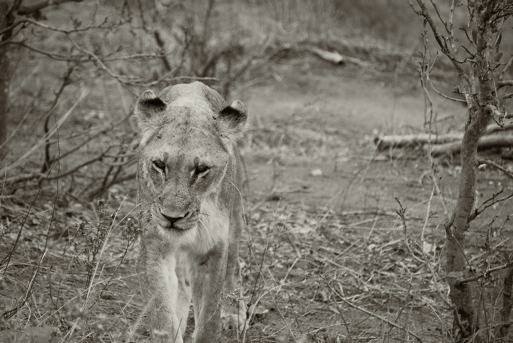 Copyright © 2012, A+B=FilmUnit. All rights reserved. Lion at Kruger.jpg
