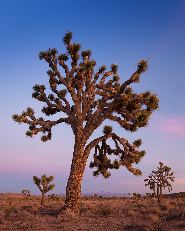 A Joshua tree in Death Valley National Park