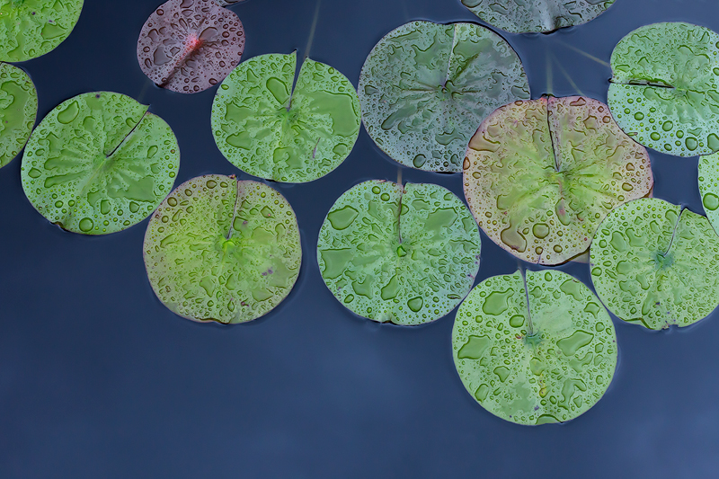 Lily Pads #1