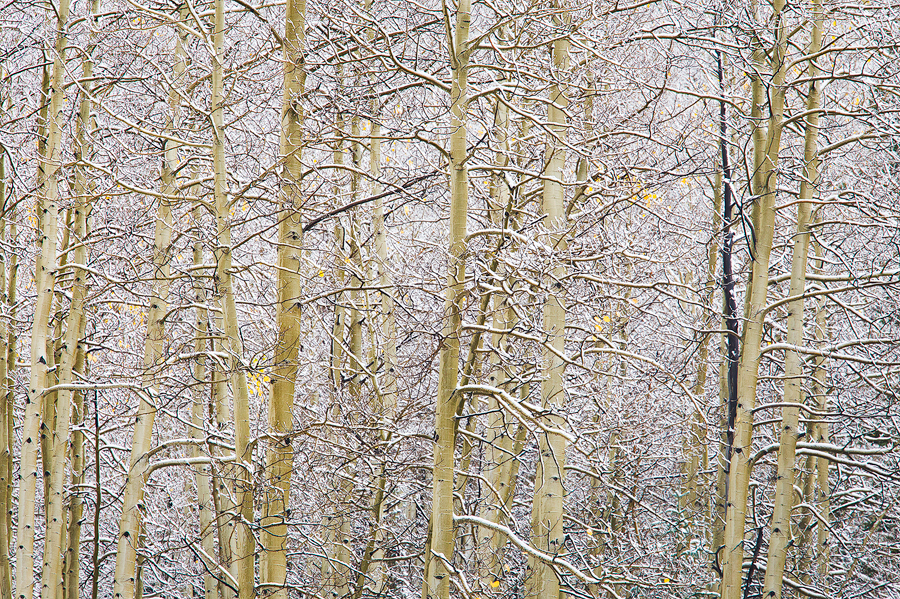 Light snow, bare aspens.