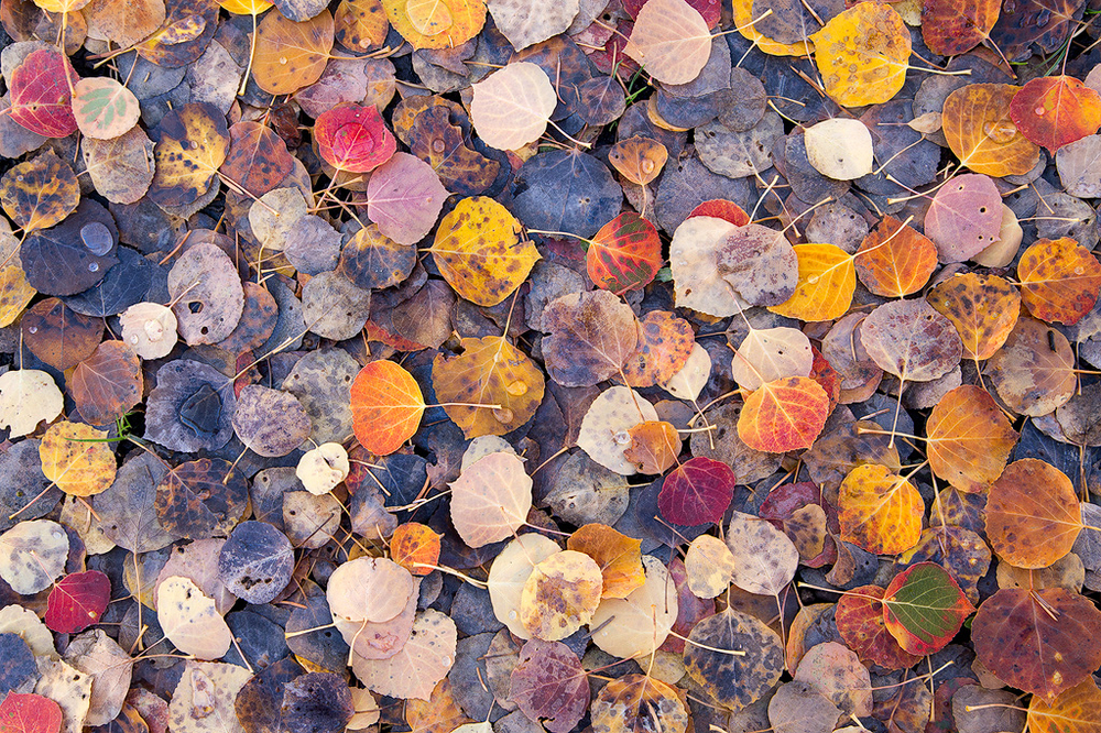 A carpet of colorful aspen leaves in Colorado