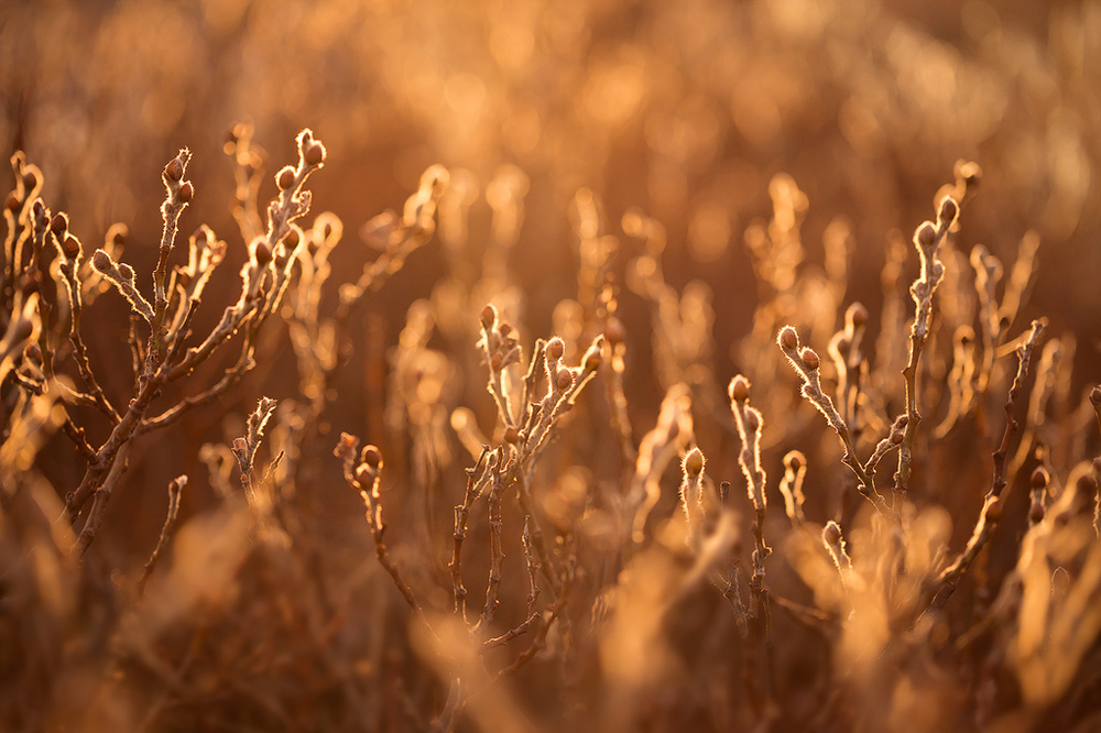Warm light shines through a bare plant in winter in Iceland.