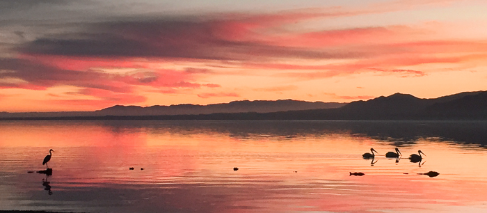 Pelicans and an egret at the Salton Sea in California (iPhone)
