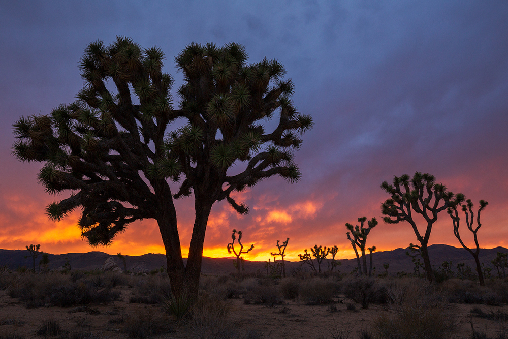 Guardians of the Desert, Joshua Tree National Park