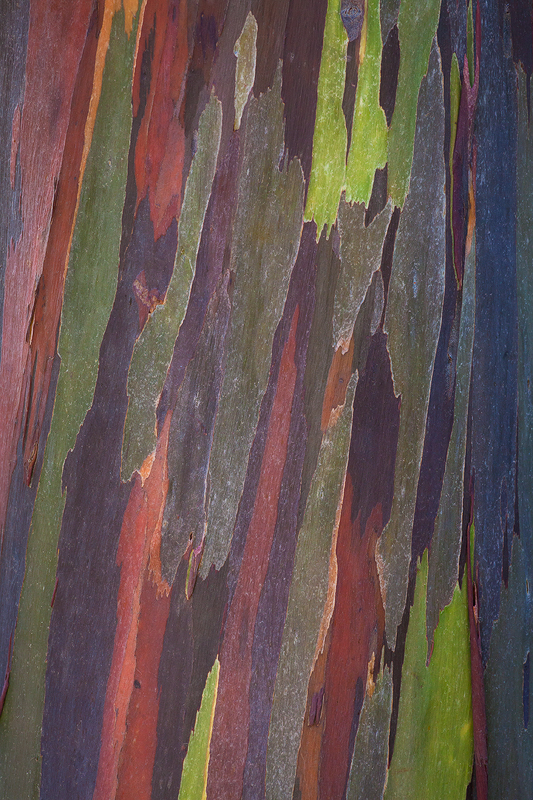 Eucalyptus tree bark abstract, Kauai