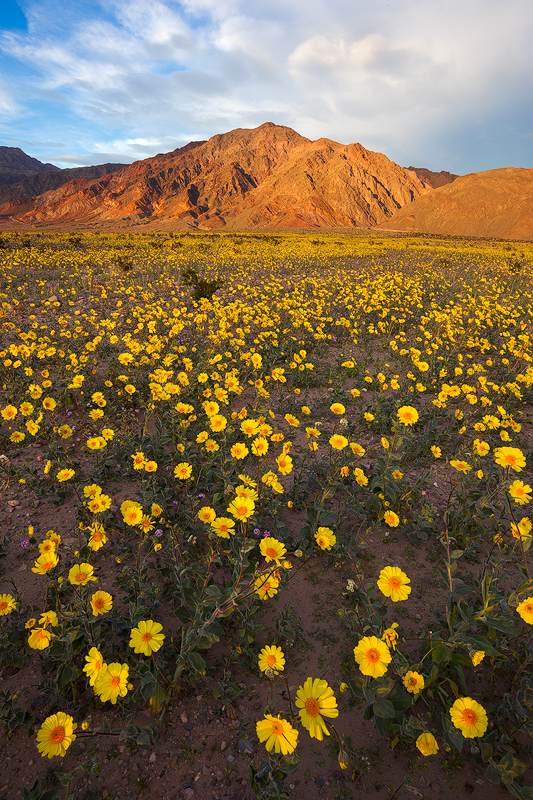 Desert Gold and the Black Mountains in late afternoon, Death Valley National Park. (c) Ron Coscorrosa