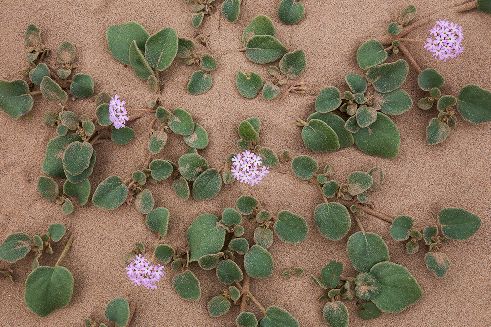 Sand Verbana, ubiquitous in sandy areas along washes in Death Valley National Park. (c) Ron Coscorrosa