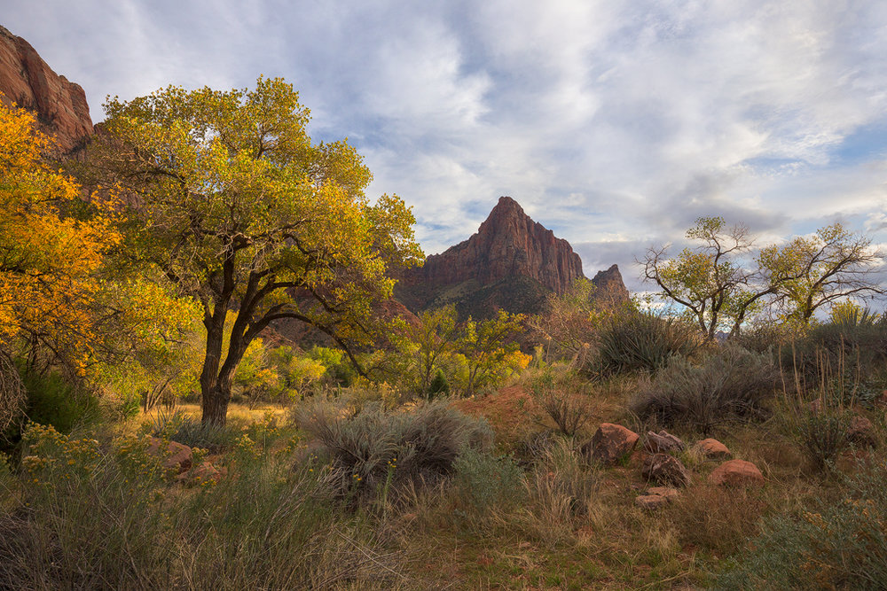 Classic Zion. The famous Watchman framed by colorful autumn Cottownwood trees and surrounded by lush desert vegetation.