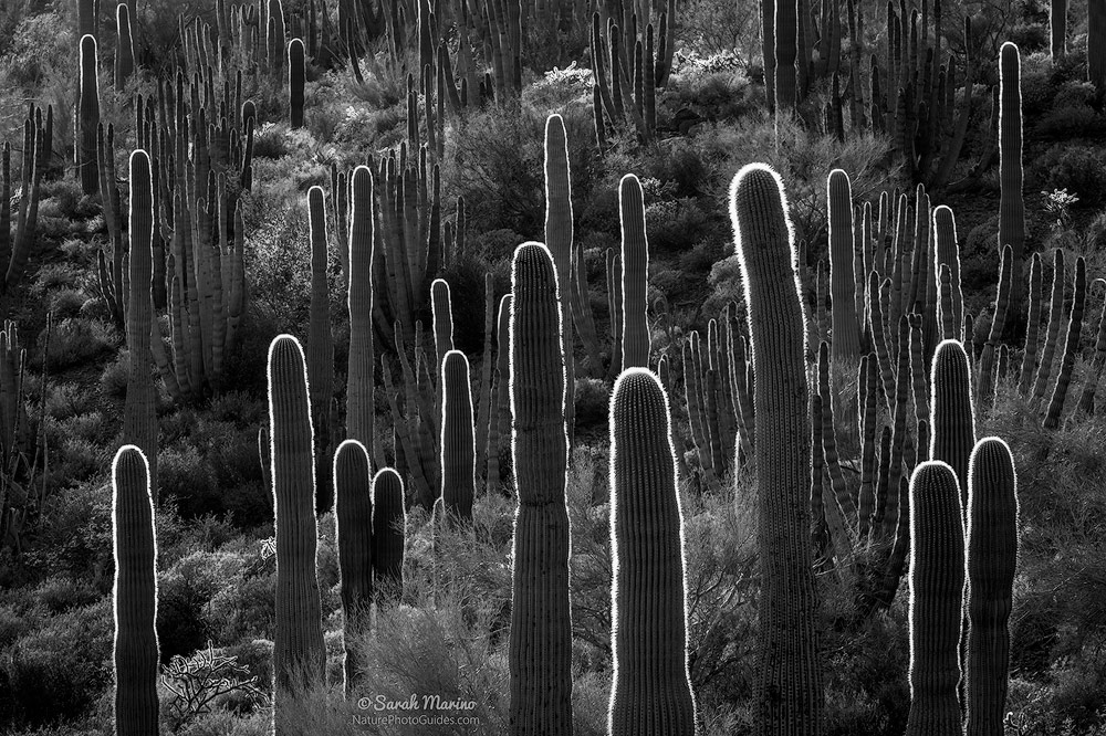 Backlit saguaros and organ pipe cactus glow at sunset in Organ Pipe Cactus National Monument, Arizona.