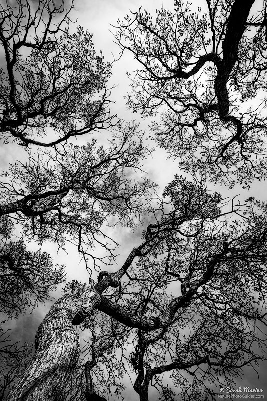 Limbs of bare oak trees reach to the sky in Zion National Park, Utah.