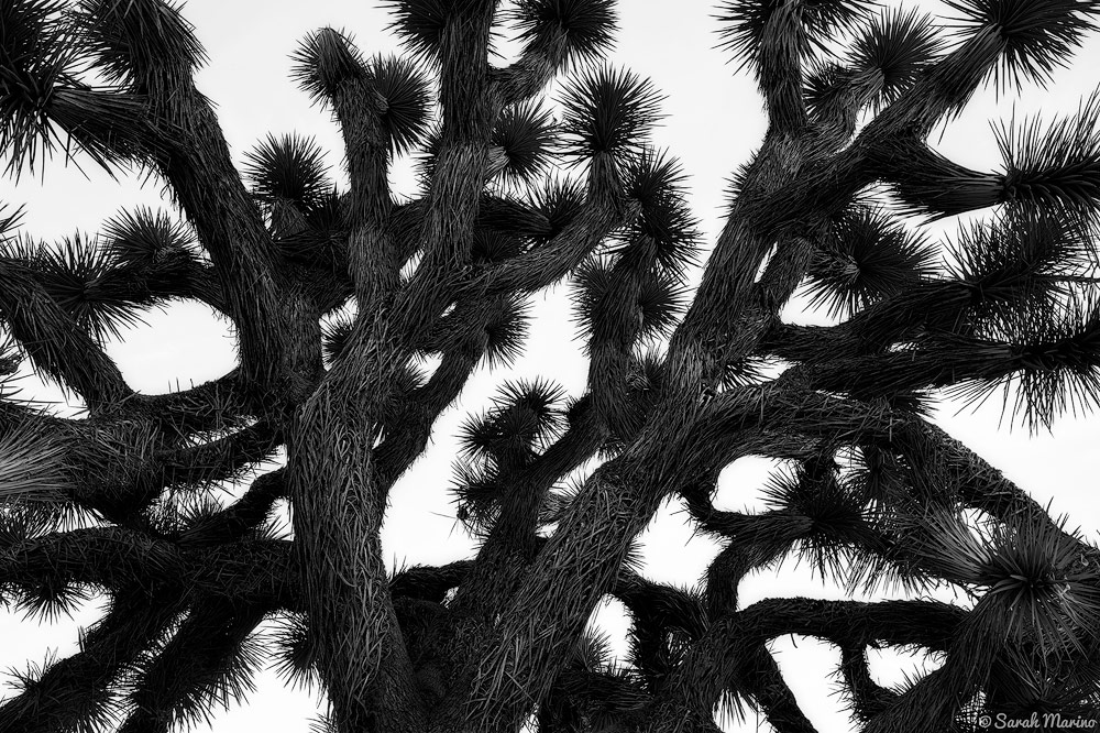 Limbs of a Joshua tree in Joshua Tree National Park, California.