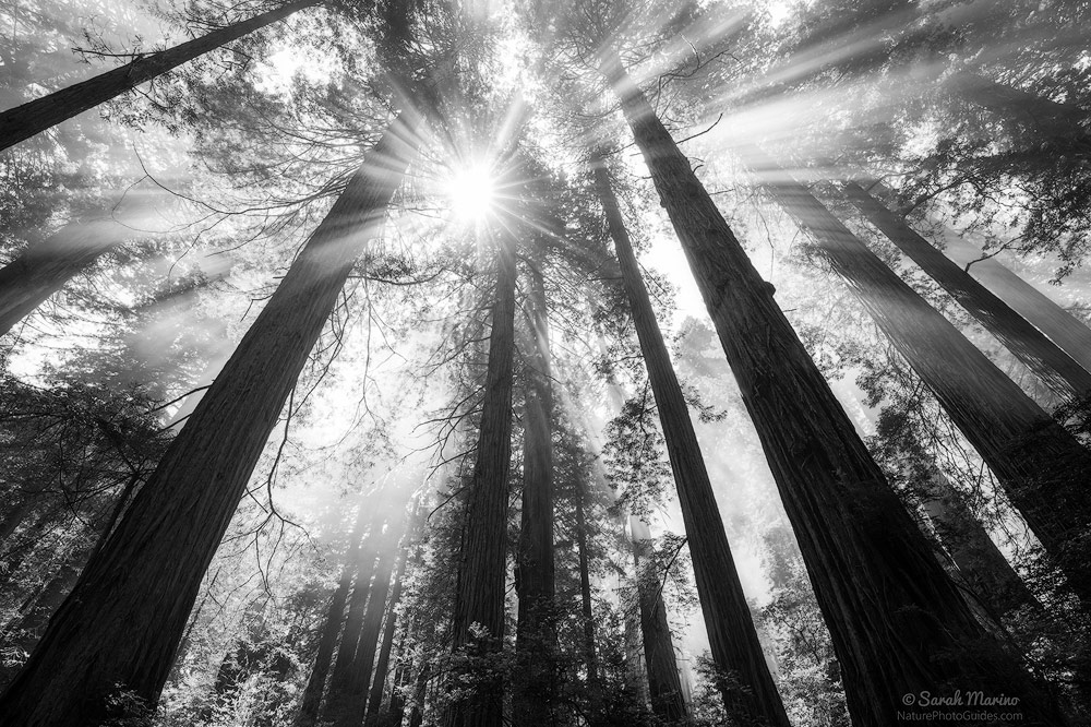 Beams:  Weather is often a key element in conveying mood within a photo. Here, the combination of clearing fog, sunbeams, and massive trees lends a bright, hopeful feeling. The same scene with thick fog would feel much more melancholy (below).  Redwoods National Park, California.