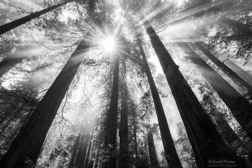 Sarah-Marino-Redwoods-Sunbeams-Fog-Black-White-1200px.jpg