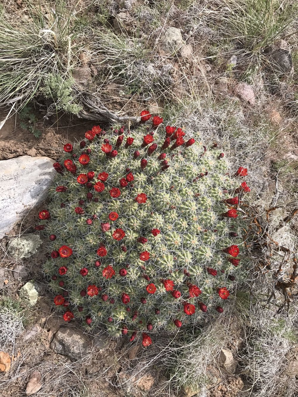 May 21 - Neighborhood Claret Cup Cactus
