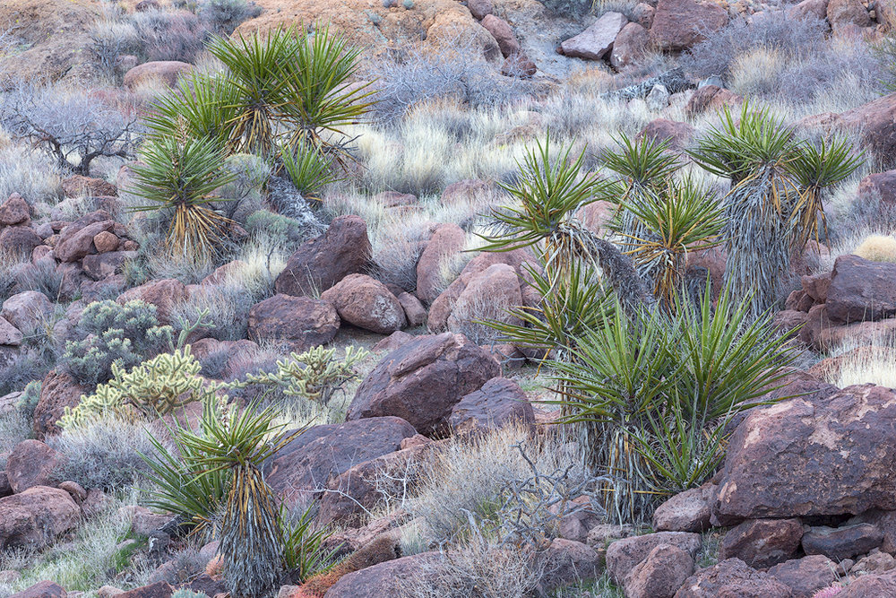 """Mojave Garden"" - Lush desert flora in the Mojave Preserve"